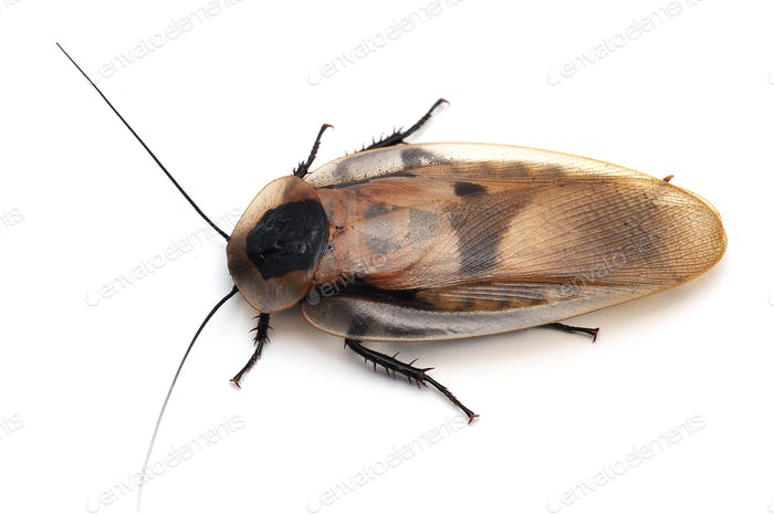 Thumbnail for Giant cockroach isolated on white background