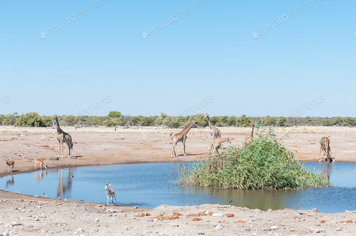 Landscape with Namibian giraffes, impalas, springbok and burchells zebra