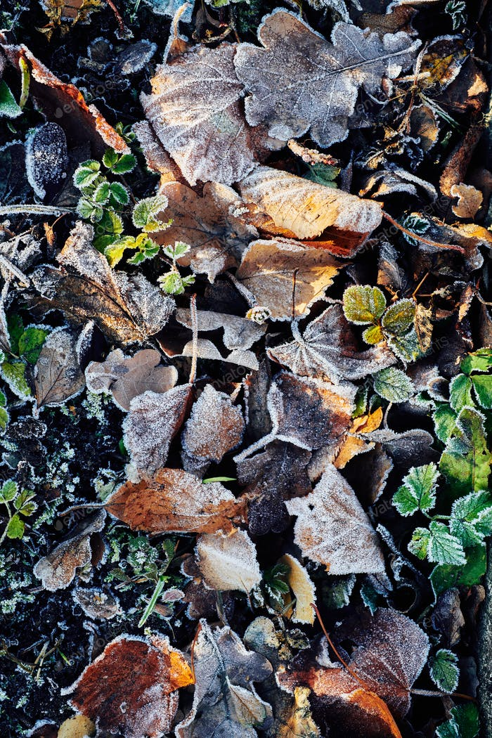 Beautiful fallen leaves covered with frost