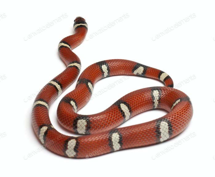 Milk snake or milksnake, Lampropeltis triangulum nelsoni, in front of white background