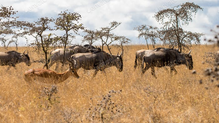 wildebeest migration in kenya and Tanzania