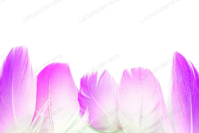 flamingo feather isolated