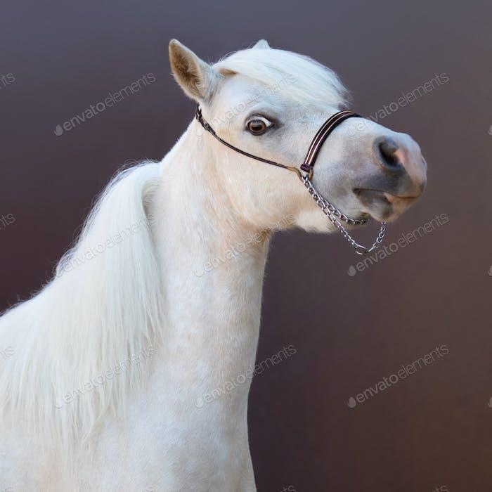 American Miniature Horse. Square portrait.