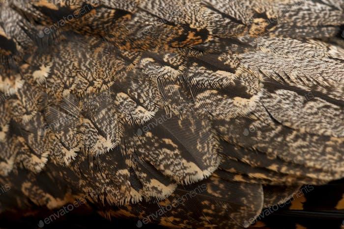 European Nightjar, oder einfach nur Nightjar, Caprimulgus europaeus, Nahaufnahme
