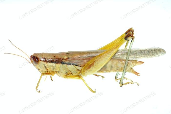 Schädling Insekt orientalische Zugheuschrecke
