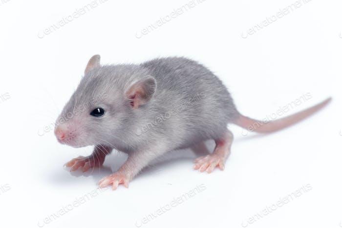 niedliche Baby-Ratte