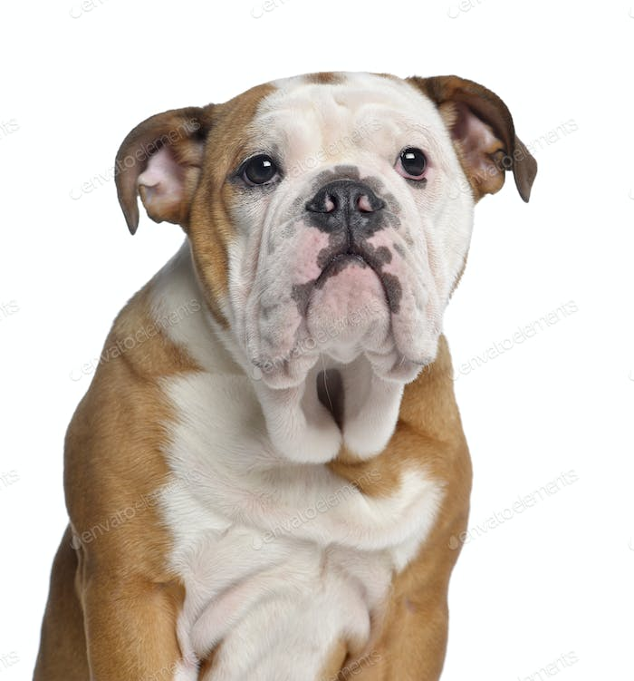 Thumbnail for Close-up of an English Bulldog, 5 months old, isolated on white