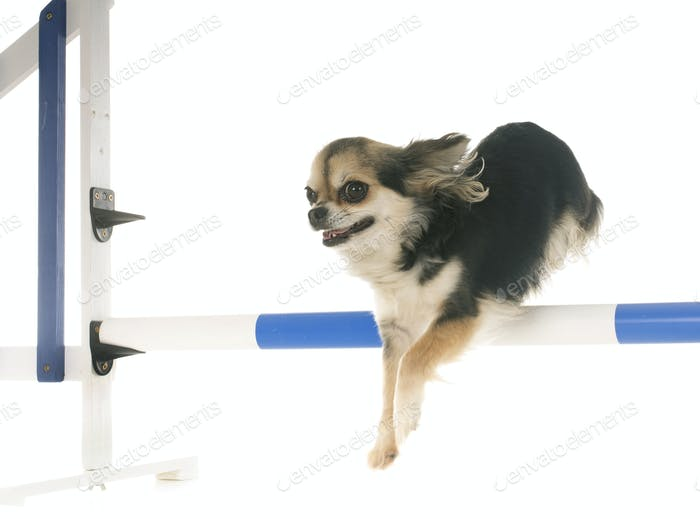 jumping chihuahua in studio