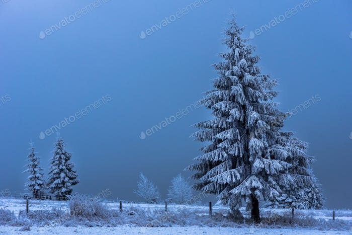 Beautiful Christmas fir tree covered with rime and hoarfrost