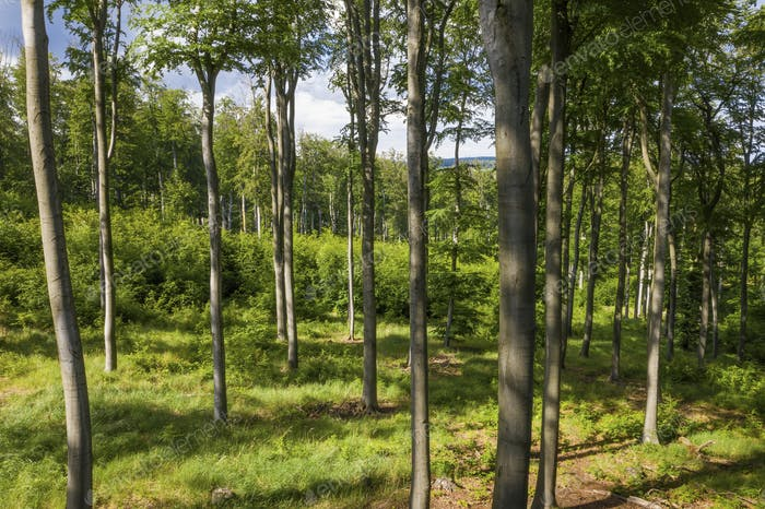 Forested area with young beech trees in spring