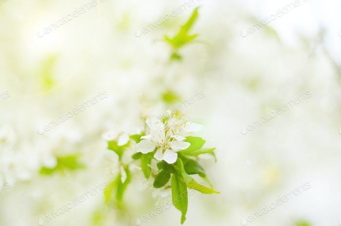 Blühender Zweig von Obstbaum im Garten
