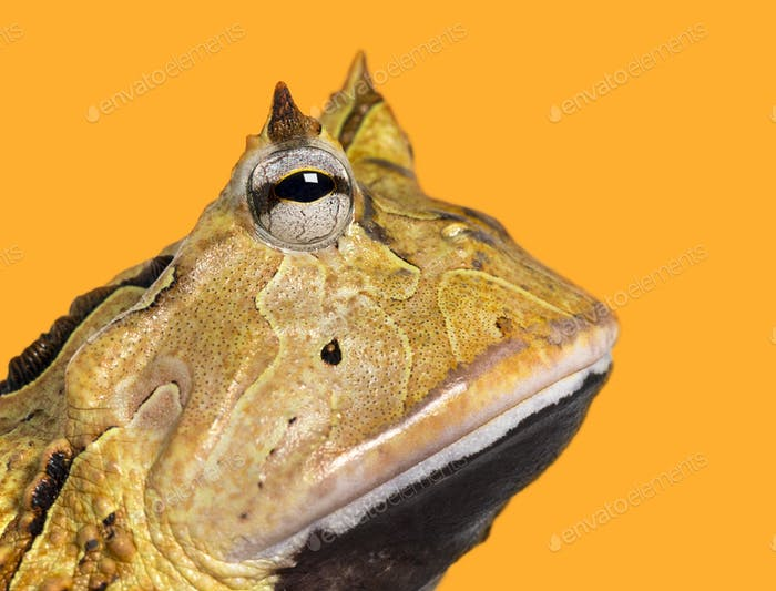 Close-up of an Argentine Horned Frog's profile, Ceratophrys ornata, on a yellow background