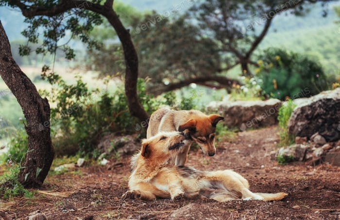 Two dogs fighting with each other Carpathians Ukraine Europe