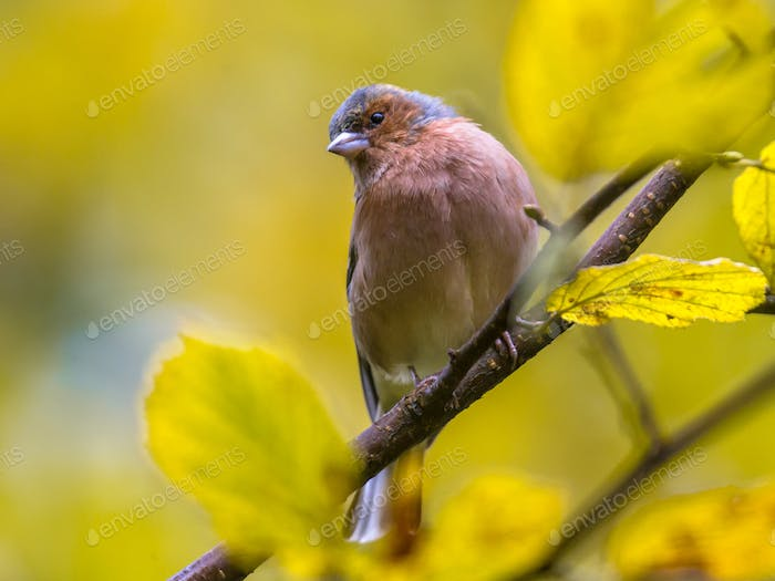 Chaffinch on autumn colored branch