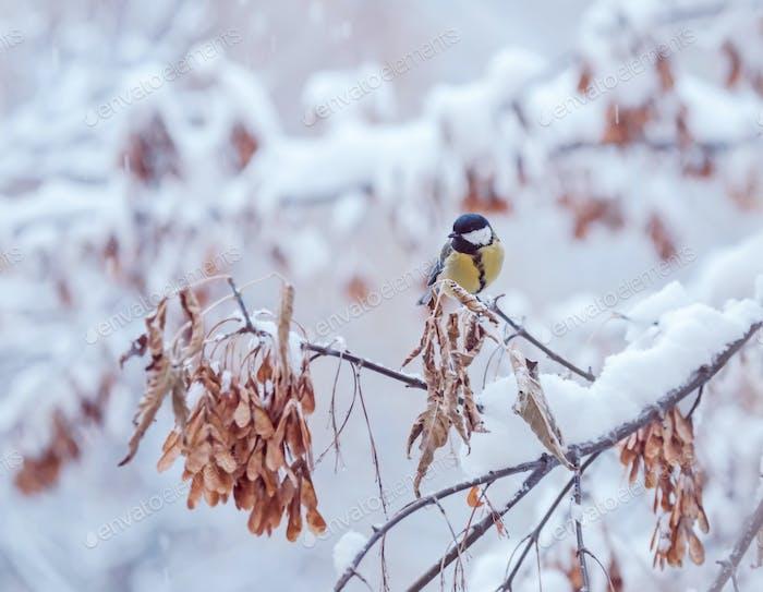 große Meise auf einem Schneezweig