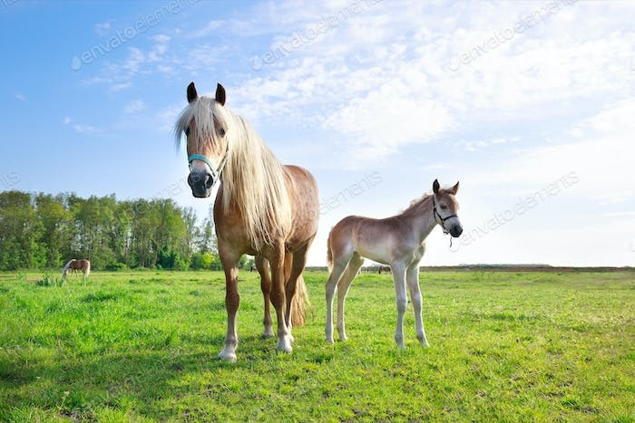 horse with foal on pasture and blue sky