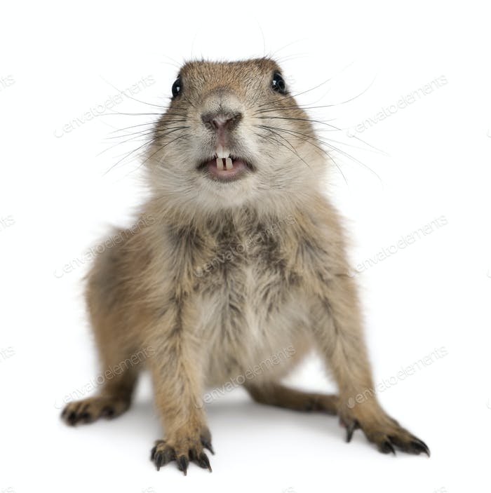 Black-tailed prairie dog, Cynomys ludovicianus, in front of white background
