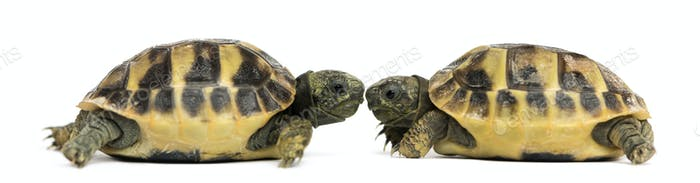 Side view of two baby Hermann's tortoise facing each other, Testudo hermanni, isolated on white