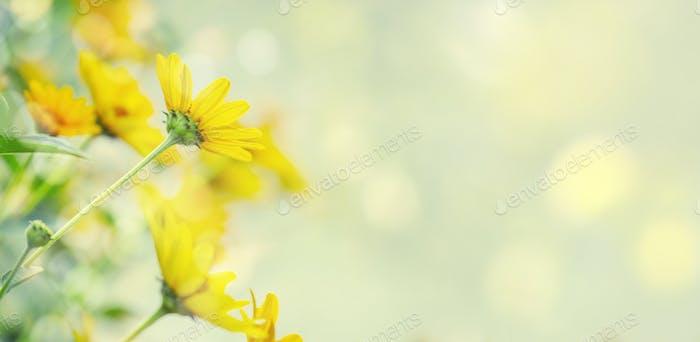 Thymophyllia, gelbe Kamillenblüten, natürlicher Sommerhintergrund