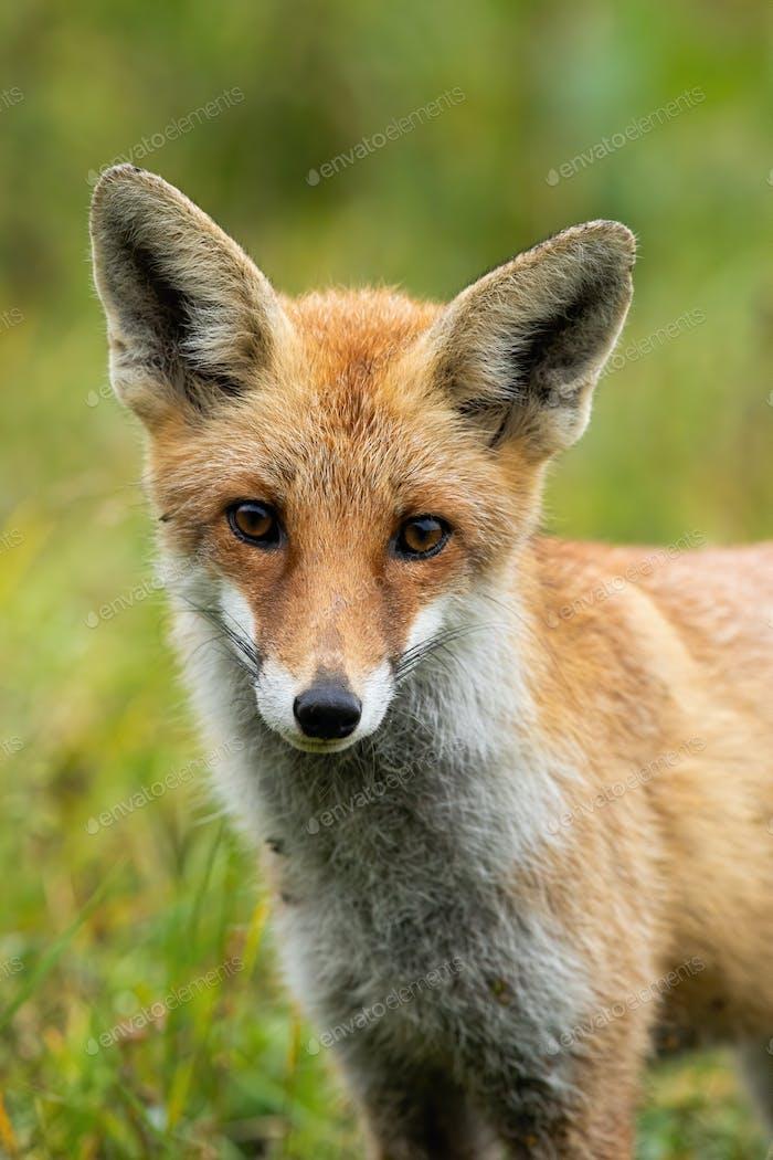 Niedlicher roter Fuchs Blick auf die Kamera mit großen Augen im Sommer