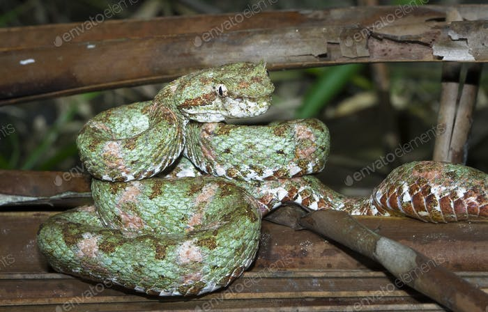 Eyelash Viper in Costa Rica