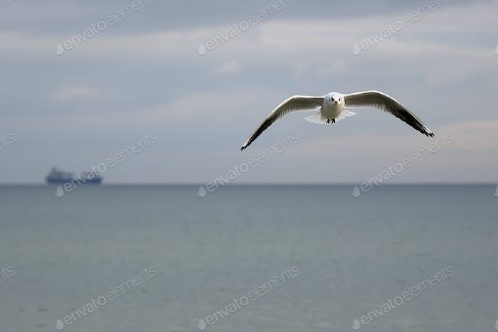 Gull in the flight