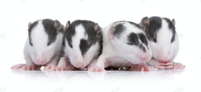 babby Ratte in einer Reihe