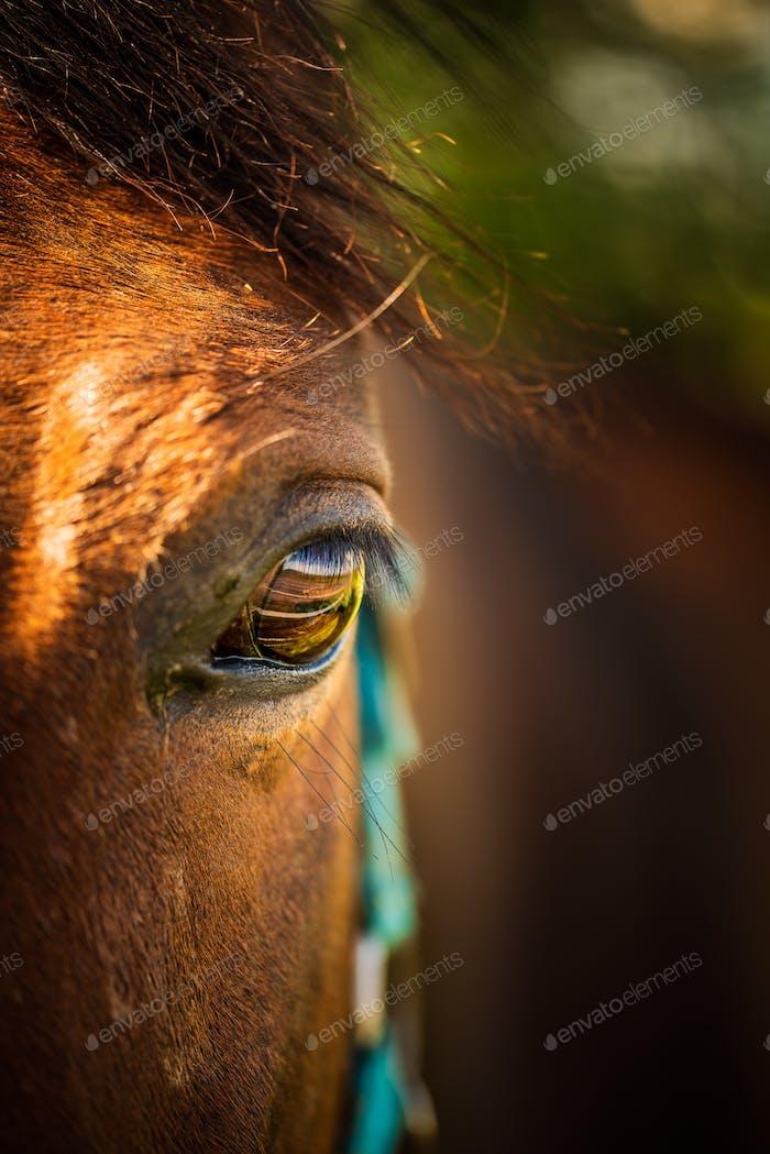Auge eines braunen Pferdes in der Sonne