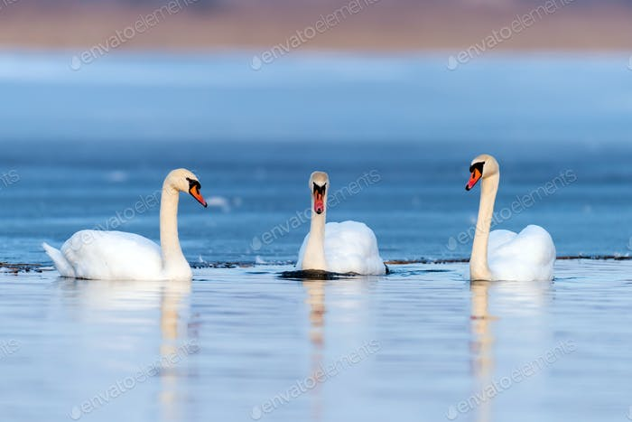 Three swans in lake
