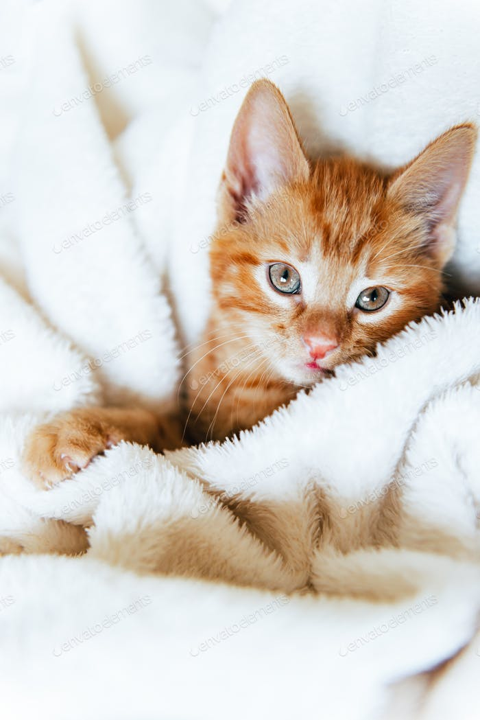 Cute ginger kitten looks at camera