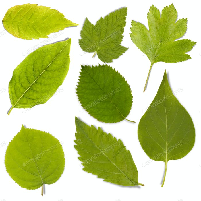 Set of green leaf
