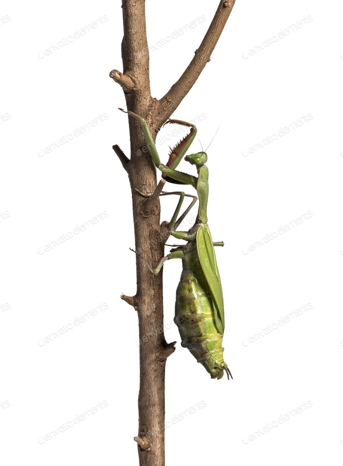 Old and Sick praying mantis, Hierodula majuscula, climbing in front of white background