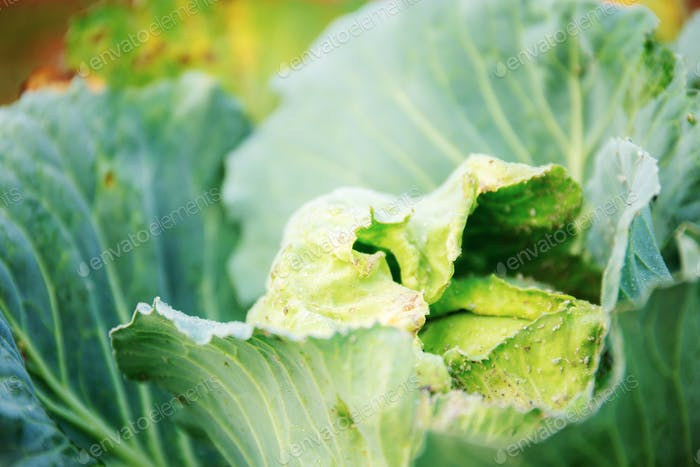 Cabbage of green leaves in farm