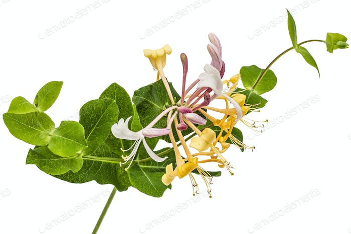 Flowers of honeysuckle, lat. Lonicera caprifolium, isolated on w