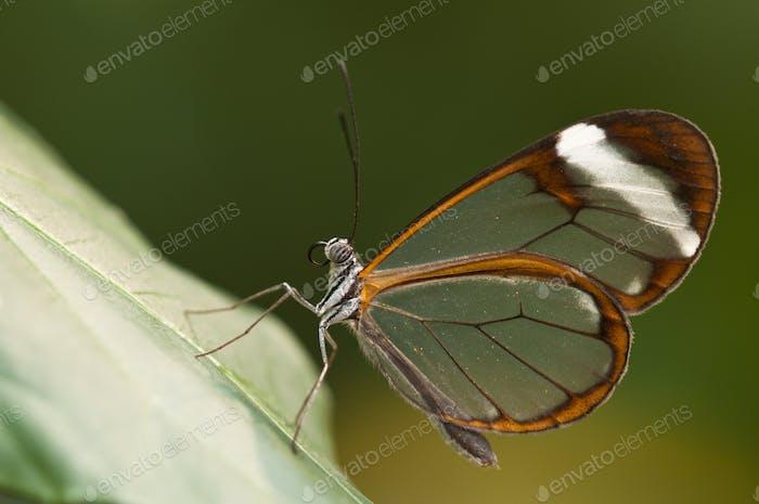 Glasflügel Schmetterling