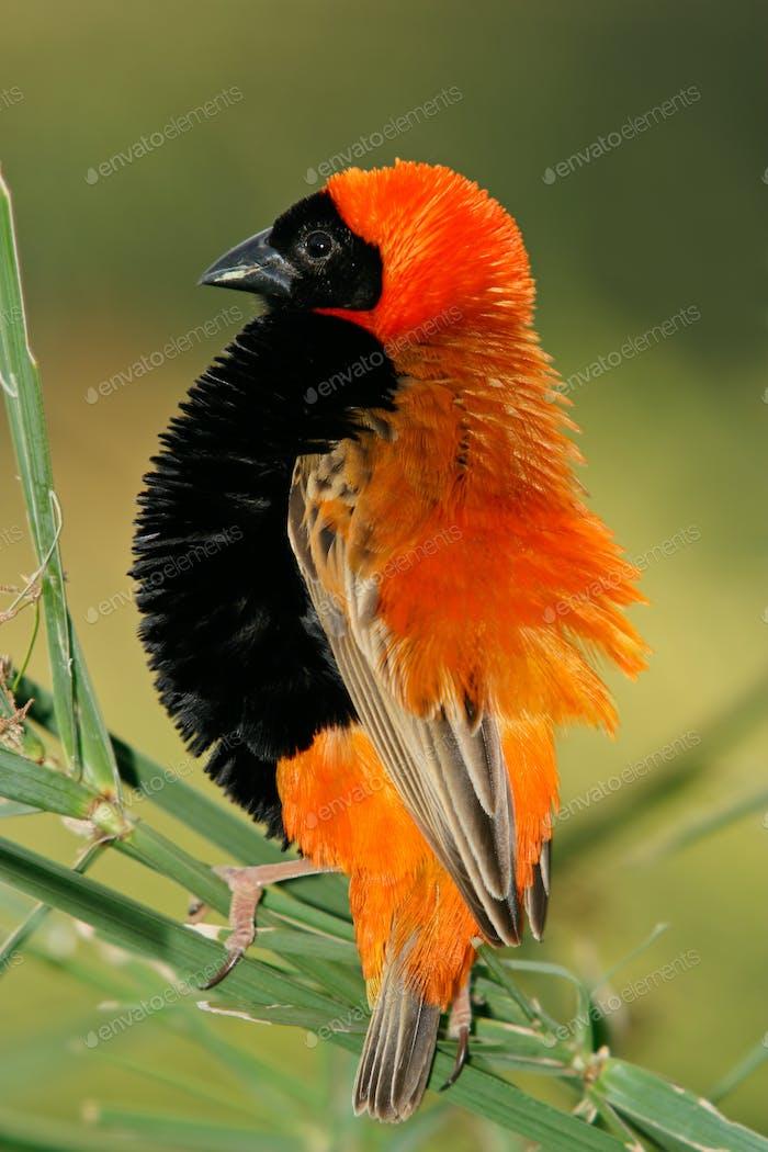 Male red bishop bird