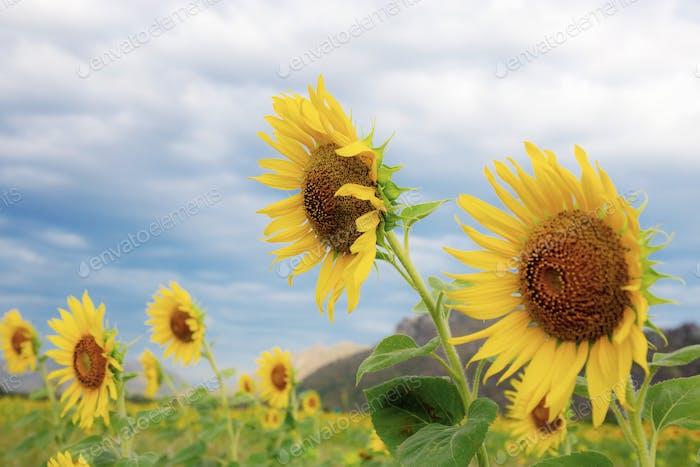 Sonnenblume mit schönen am Himmel