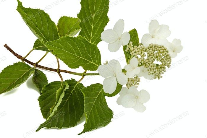 Blütenstand der Hortensie, lat. Hortensie paniculata, isoliert