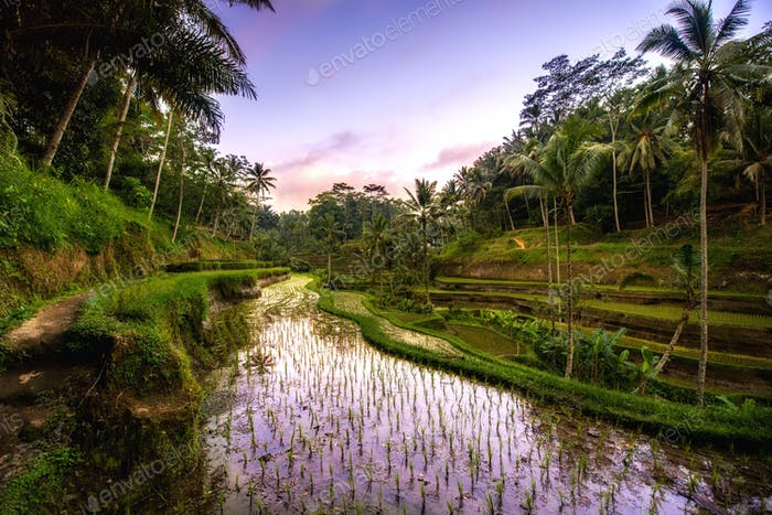 Beautiful reflection of sunset colors in rice terrace valley in Ubud village