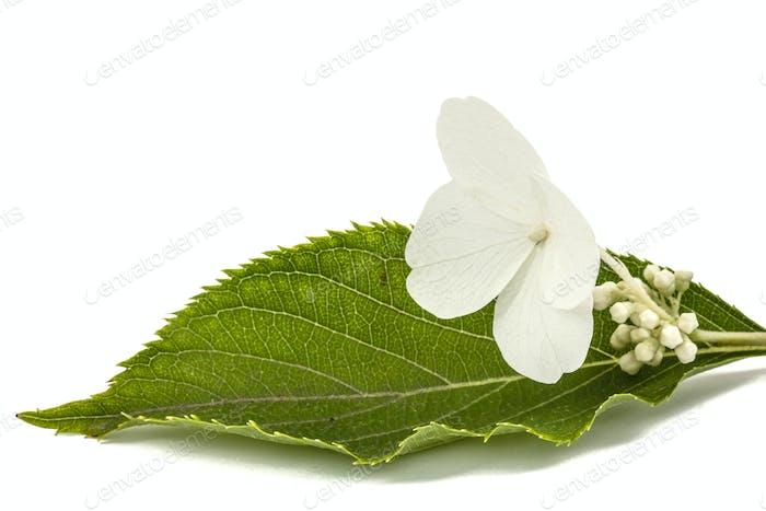 Blume der Hortensie Nahaufnahme, lat. Hortensie paniculata, isoliert