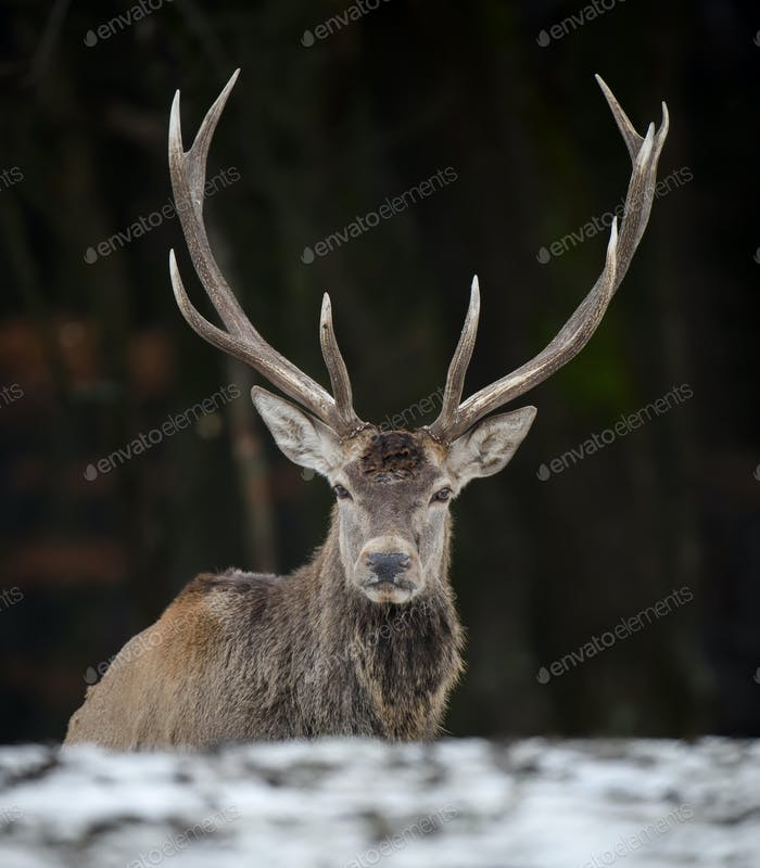 Majestic red deer stag in forest. Animal in nature habitat