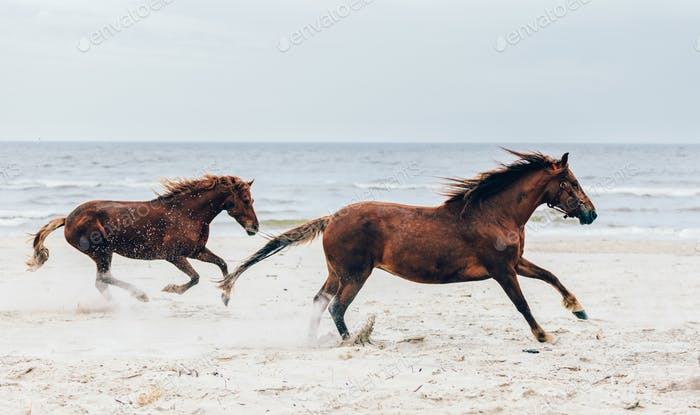 Two brown horses running fast on the seashore.