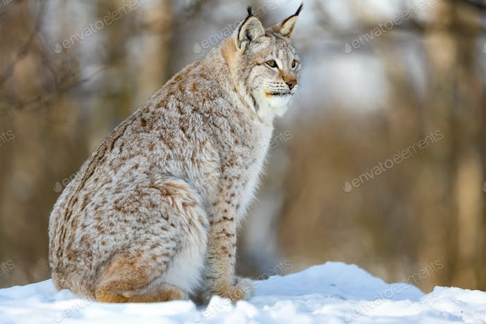 Furry Eurasian wild cat looking away while sitting on snow
