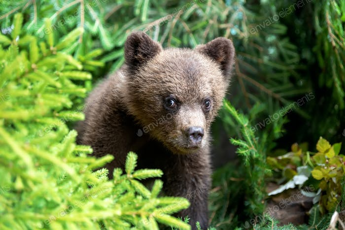 Cub of brown bear in the forest