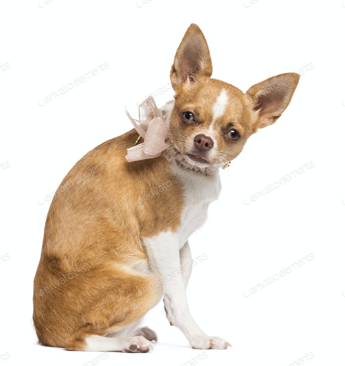Chihuahua, 7 months old, wearing lace collar, sitting and looking at camera against white background