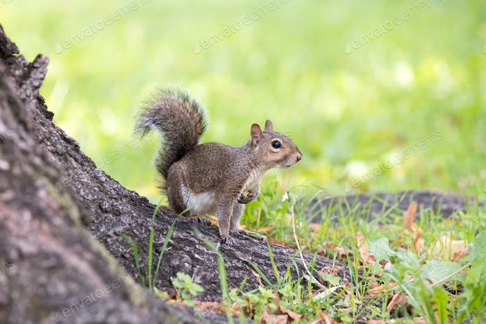 Alert grey squirrel poised with bushy tail raised