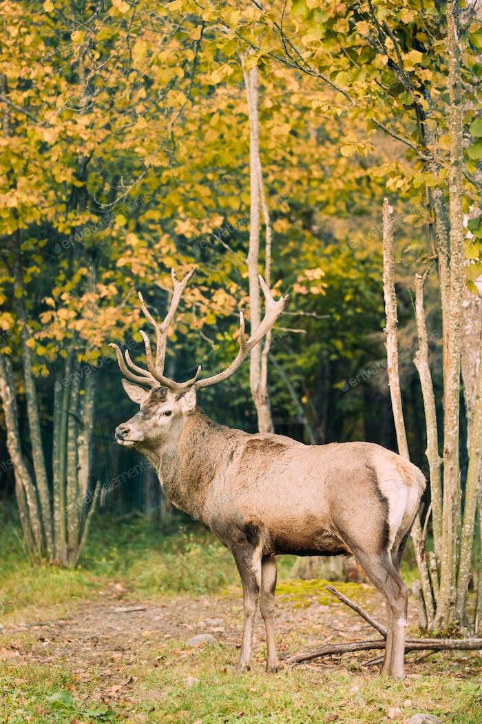 Belarus. Male European Red Deer Or Cervus Elaphus In Autumn Fore