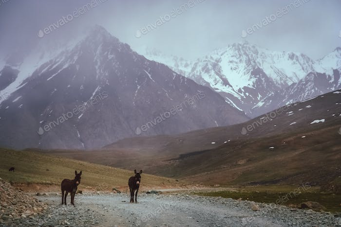 Mountain donkeys