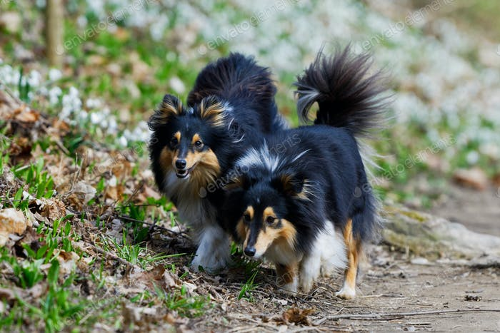 Two tricolor shetland sheepdog walking