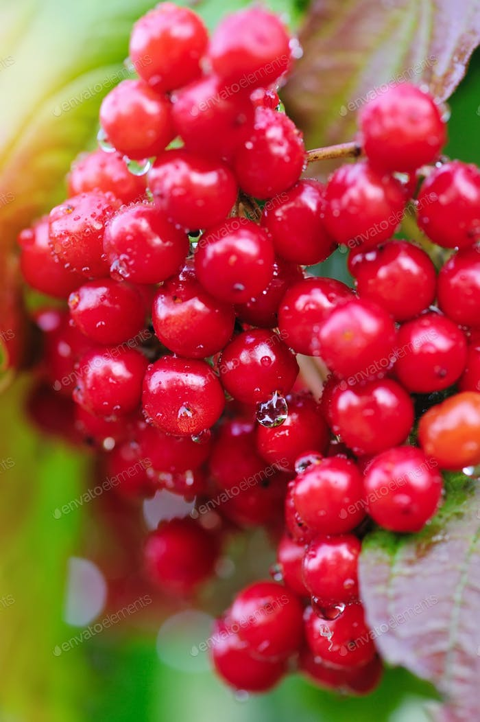 Guelder rose, Viburnum opulus, bunch of red berries with dew